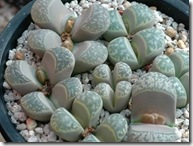 Lithops hermutii