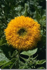 Girasol Urso de Pelucia