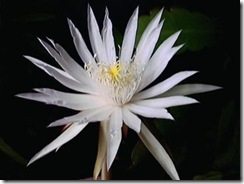 Epiphyllum phyllanthus
