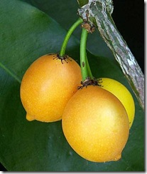 Garcinia intermedia