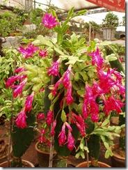 Epiphyllum Truncatus