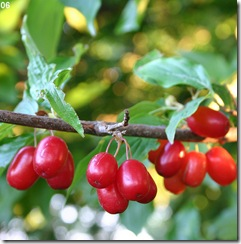 Cornelian_Cherry