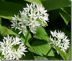Alliumursinum