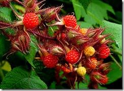 Rubusphoenicolasius