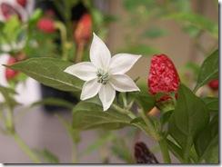 Tiny Samoa Pepper