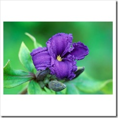 clematisheracleifolia