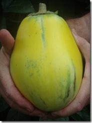 Yellow Eggplant   (27)