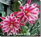 Epi atlantis