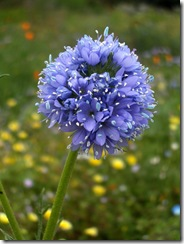 gilia_capitata