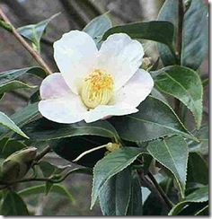 camellia-sinensis-tea-plant