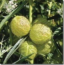 Asclepias gomphocarpus