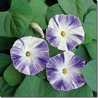 Ipomoea_Flying_Saucers_tmseeds_1_lg