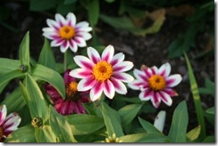 ZINNIA MARYLANDICA &ndash; SAHARA SERIES