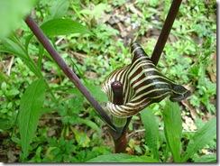 Arisaema triphyllum1