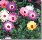 Mesembryanthemum Oculatum