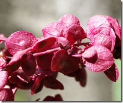 Atriplex hortensis Rubra1