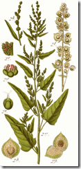 Atriplex_hortensis