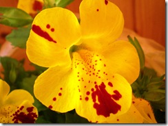 Mimulus luteus