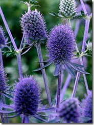 Eryngium planum