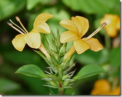 Barleria_prionitis