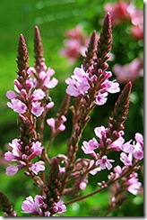 Verbena_hastata