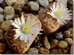 Lithops4