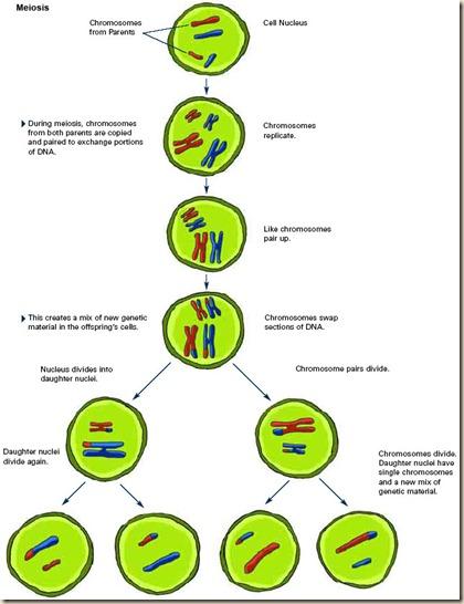 ch1_meiosis