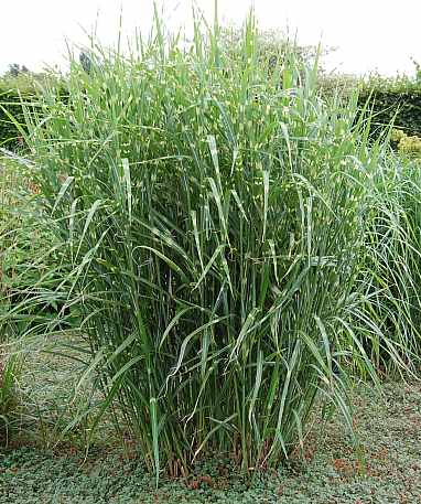 miscanthus sinensis 39 little zebra 39 niedirges chinaschilf zebragras. Black Bedroom Furniture Sets. Home Design Ideas