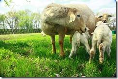 Lambs 2010 (3)