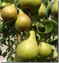 pears-285x300