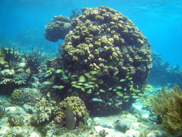 Typical Giant Boulder Coral at Rum Point