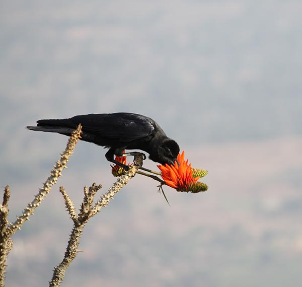 Crow who thinks he is a Sunbird