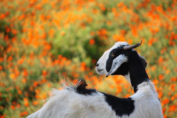 Goat in Attitude