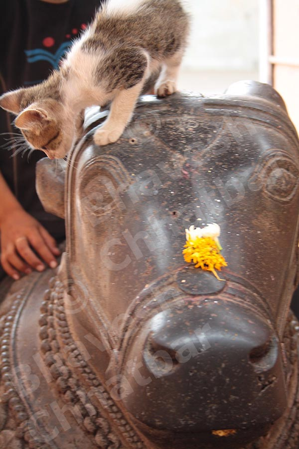 Cat on the head of the Nandi bail outside the Shiv temple in the premises of Dholya Ganpati temple in Wai