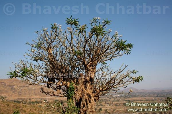 Wild Plumeria Tree [Wild Frangipani Tree]