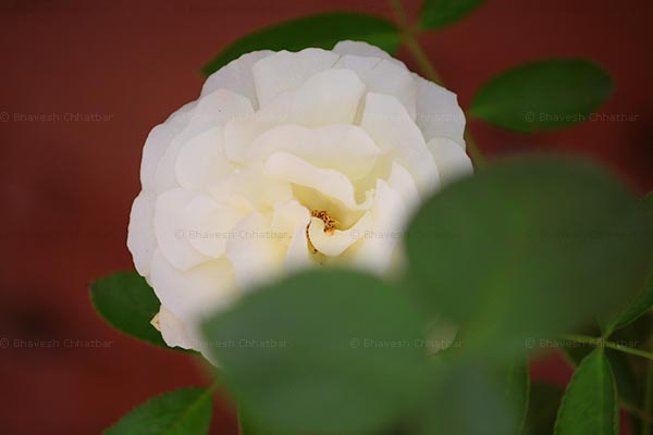 The white rose in my garden