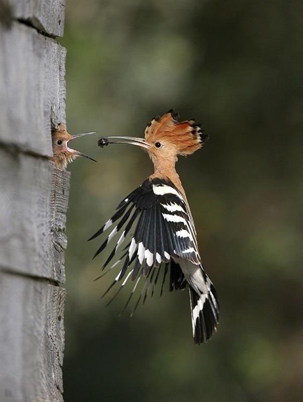 Woodpecker feeding its baby