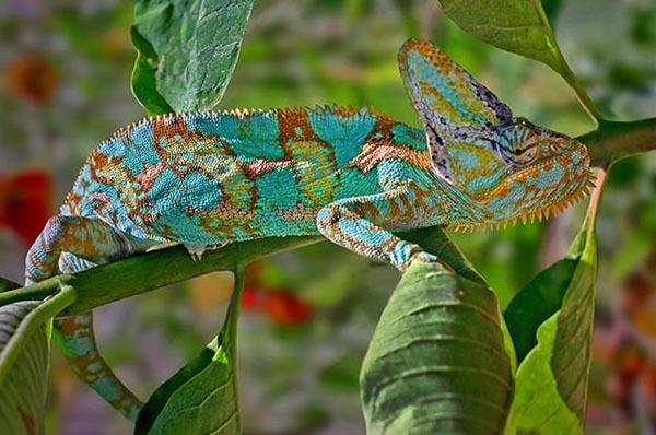 Super camouflage of a chameleon