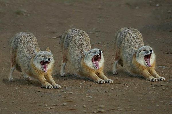 3 sleepy foxes