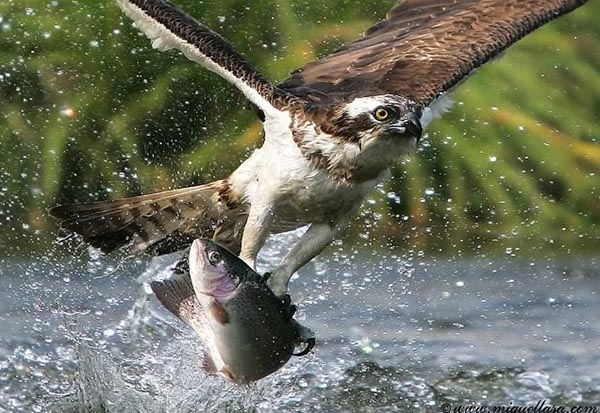 Big fish hunt by eagle