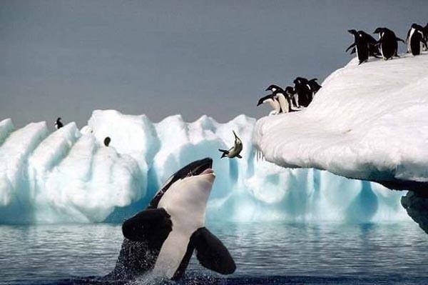 Killer whale grabbing a jumping penguin