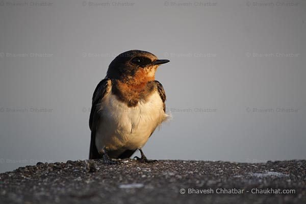 Swallow bird picture