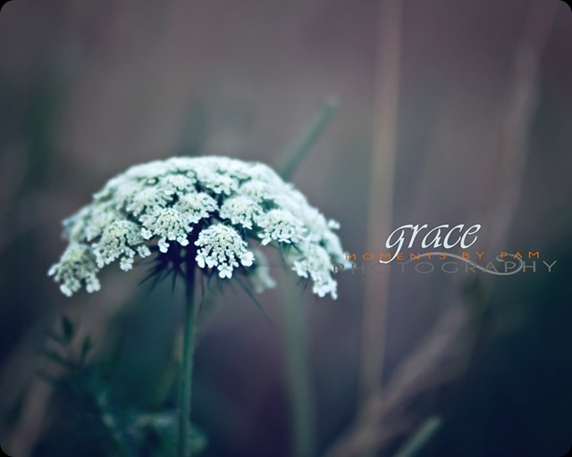 Queen Anns Lace Grace 387 copy