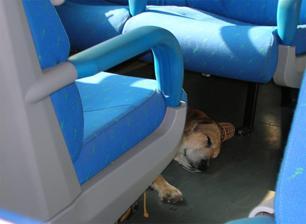 Cão dorme em trem durante viagem na Itália