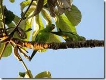 periquito-rico (Brotogeris chiriri). Foto: Tietta Pivatto