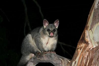 A Possum Australia