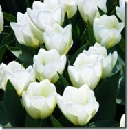 Tulipan-White-Dream-10-stk-NY_full_plant