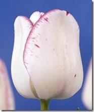 Tulipan-Shirley-10-stk-NY_full_plant