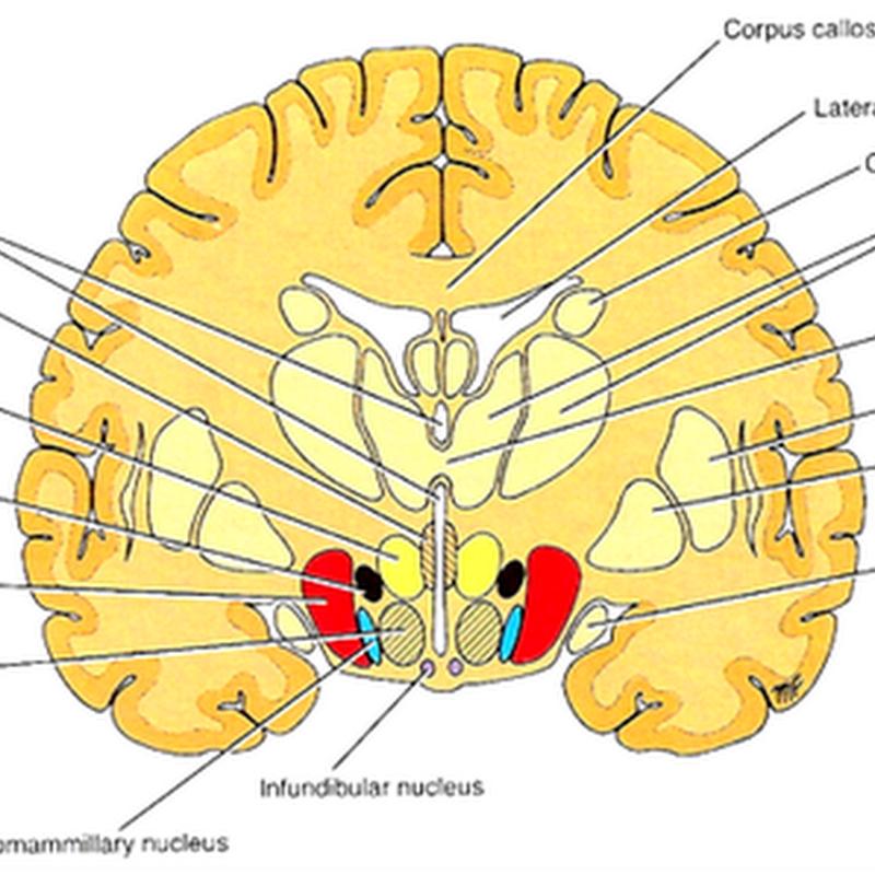 The hypothalamus I