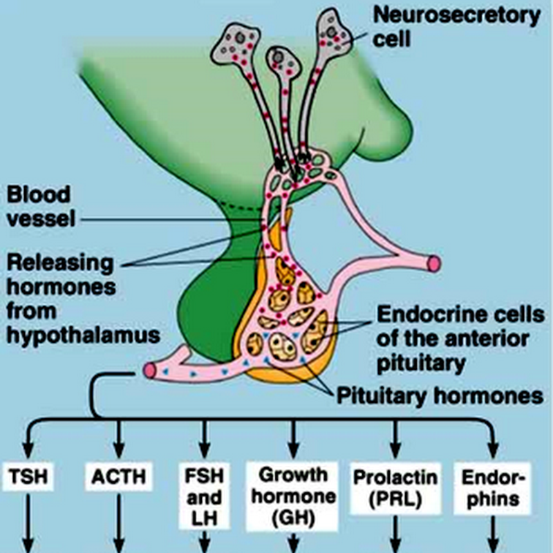04. Anterior Pituitary Hormones (Hypothalamus & Pituitary) III